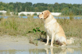 dog golden retriever sitting on the lake and looking