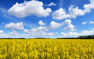 Idyllic landscape, yellow colza fields under the blue sky and wh © Trutta