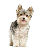 Biewer Yorkshire Terrier, 3 years old, in front of white backgro