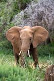 Eleophants walk in the savannah between the plants