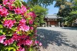 滋賀県甲良町にある八幡神社の境内に咲くツツジと拝殿