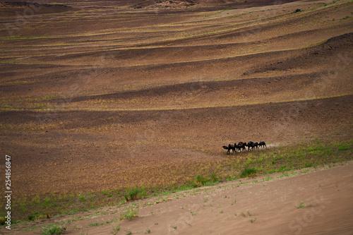 Herd of camels on sand dune in Sahara desert. - 254856847