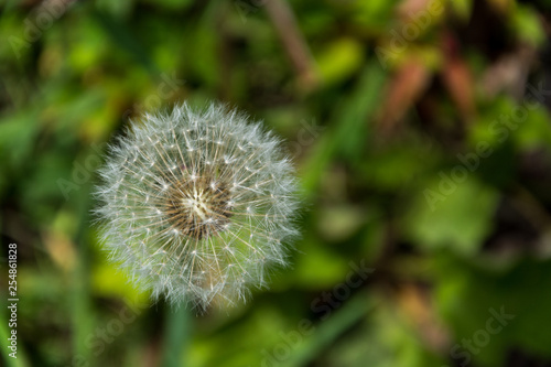 white air dandelion macro - 254861828