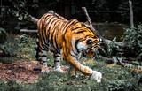Amur Tiger with rabbit