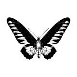 Hand drawn Rajan Brookie Birdwing butterfly - 254891675