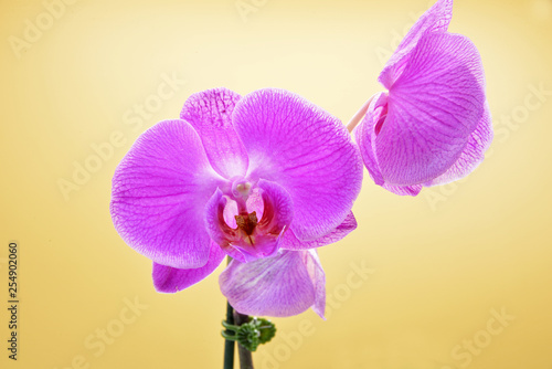 pink orchid on yellow background - 254902060