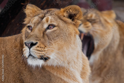 lioness female lies turned away from her friend, and she roars in her ear, comic.