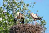 storks in the nest in spring