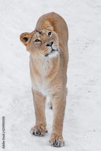 yellow curious slim lioness on white snow woman looks up, look -with appetite.
