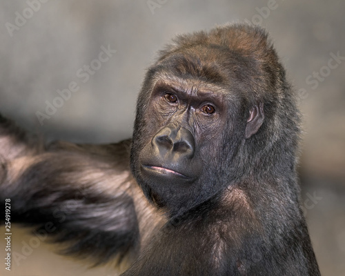 Adult female western lowland gorilla closeup portrait
