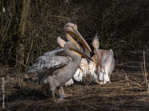 Dark-colored Great White Pelican, Pelecanus onocrotalus, in winter