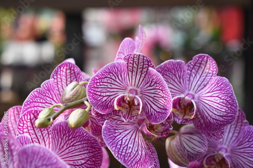 Orchidee Phalaenopsis Schmetterlingsorchidee Orchids Nachtfalterorchidee Orchidaceae Zimmerpflanze Blüte lila violett  - 254940661