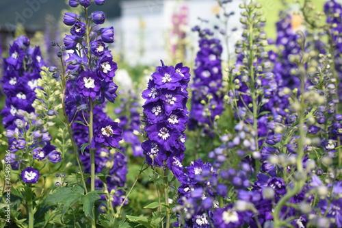Rittersporn Delphinium Highlander Dark BlueGartenpflanze Sonnenstaude Staude winterhart giftig - 254955686