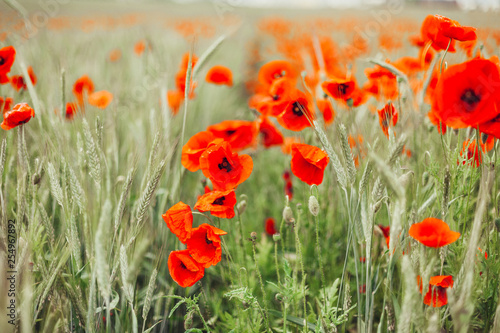 Poppy in blossom. Red floral field in summer - 254967892