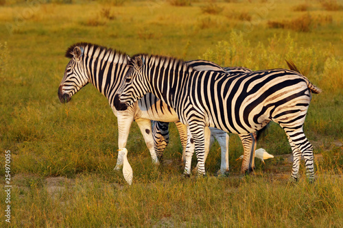 The plains zebra (Equus quagga, formerly Equus burchellii), also known as the common zebra or Burchell's zebra in the sun-drenched morning savannah. African herbivore - zebra in the morning light. - 254970055