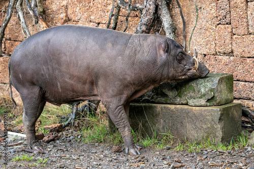 Babirusa Celebes Babyrousa babyrussa endangered animal species