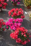 Red and purple azalea flowers in pots
