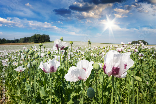 White Poppy Field. Spring Landscape in Czech Republic, Europe. - 254997099