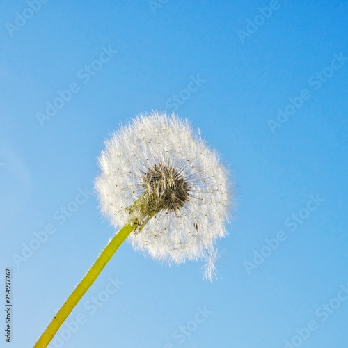 dandelion on blue sky background - 254997262