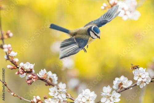 Leinwanddruck Bild Der Singvogel Blaumeise und das Insekt Wollschweber an einer blühenden Blutpflaume zeigen, dass endlich Frühling ist