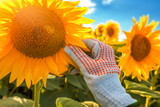 Sunflower crop protection