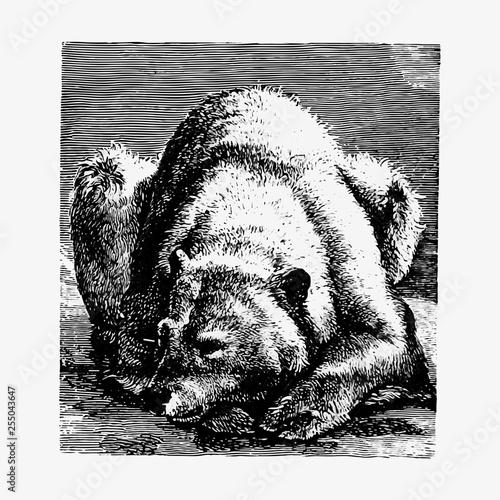 Bear in hibernation