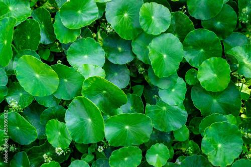 green clover background - 255050032
