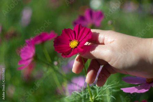 pink cosmos flower in hand - 255055615