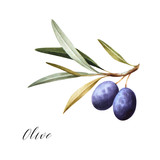 Watercolor illustration of black olives on branch. Isolated design element.