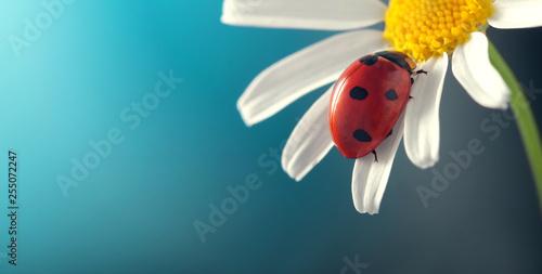 ladybird on camomile flower