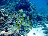 Fish Mottled Grumpy - day hunter. Red Sea, coral reef. Beautiful fish.