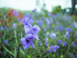 Violet flower in garden