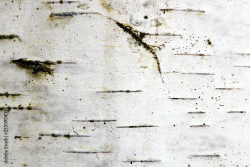 birch bark - 255098404