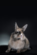 Studio portrait of a lovely little rabbit looking at camera.