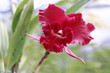 red cattleya orchid flower