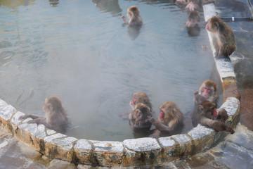Monkey in Hot Spa