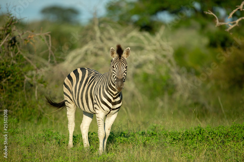 Zebra in the late afternoon light - 255113018
