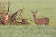 female roe deer (capreolus capreolus) standing in green meadow