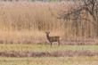 one male roe deer buck (capreolus capreolus) standing in reed grassland