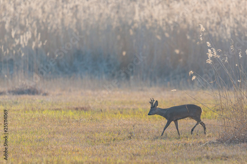 one young roebuck on glade with reed in backlight