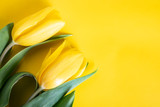 Fototapeta Tulips - Wiosenne tulipany na żółtym tle © JacZia