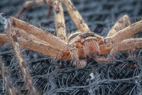 Sparassoidea huntsman spider
