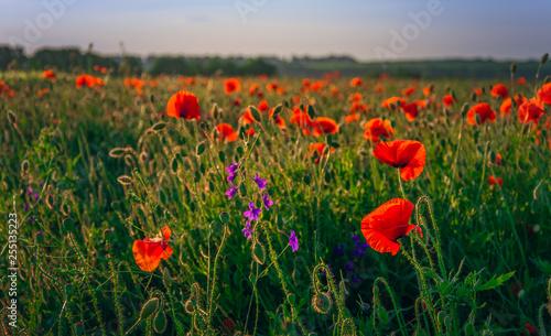 Poppy - 255135223