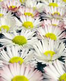 daises close up