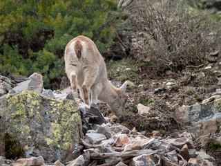 Iberian wild goat (Capra pyrenaica) grazing and climbing in the mountain in Salamanca, Spain