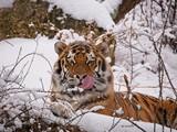 Tiger enjoying the snow