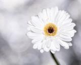 Daisy flower in the garden
