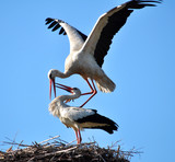 A couple of stork is in its nest