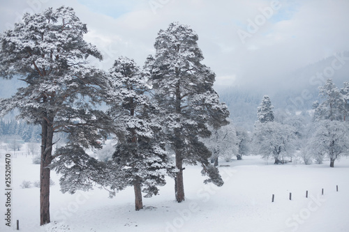 Foto Murales Winter snow landscape with conifers pine tree.