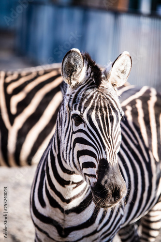Zebra portrait outdoor